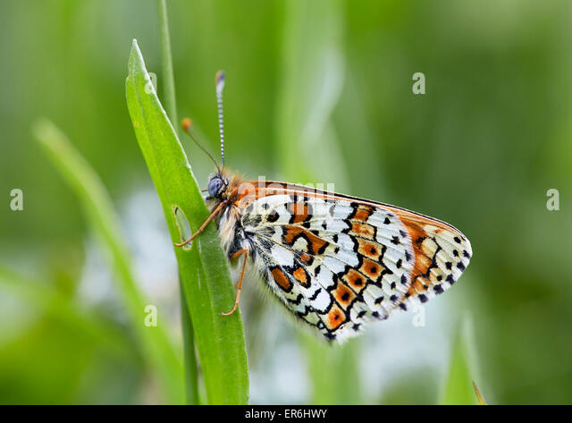 Glanville Fritillary perched on Ribwort Plantain, the food-plant of its caterpillar. Hutchinson's Bank Nature - Stock Image