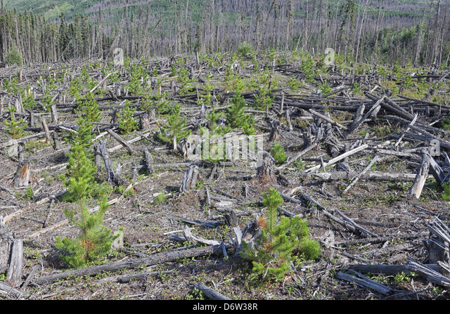 A view of a forest which has been clearcut - Stock Image