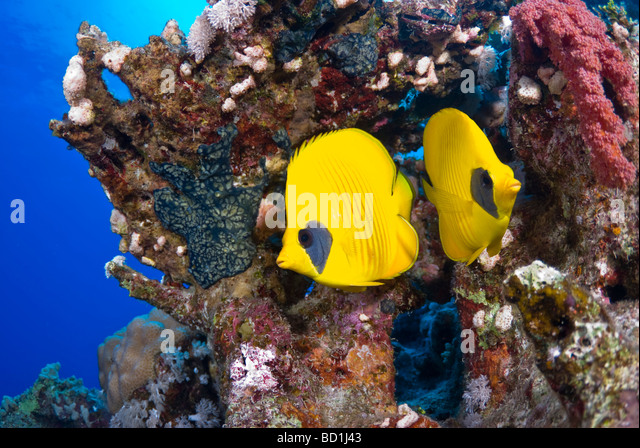 Masked buttefly fish, Abu Kifan, Safaga, Red Sea - Stock Image