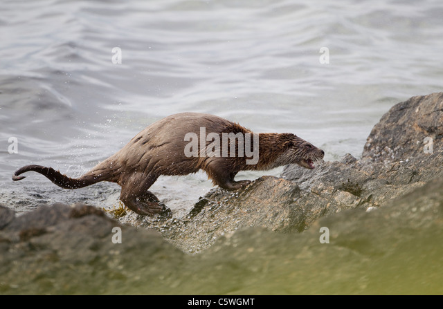 European River Otter (Lutra lutra) shaking water from coat on rocky coast. Shetland, Scotland, Great Britain. - Stock-Bilder