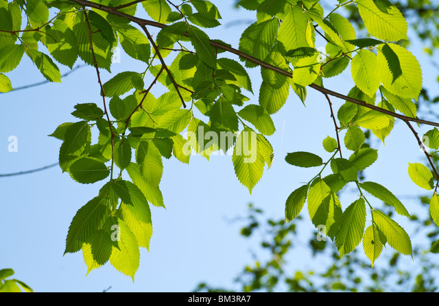 young leaves, backlight - Stock Image