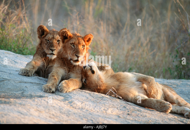 mountain lion and cubs on rocky outcropping hot girls