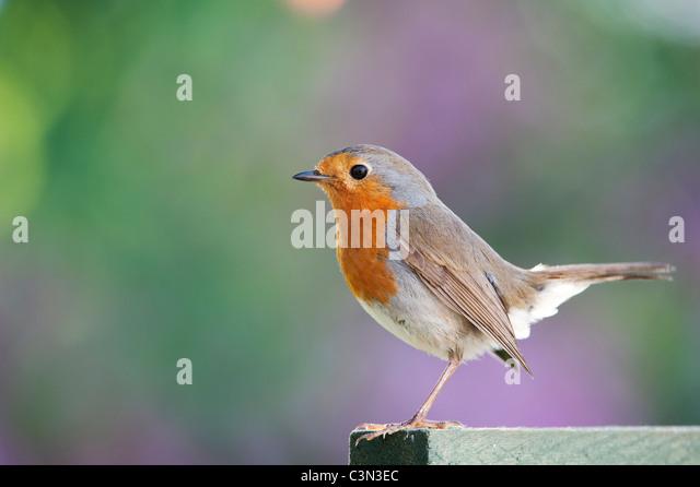 Robin on a garden trellis - Stock-Bilder