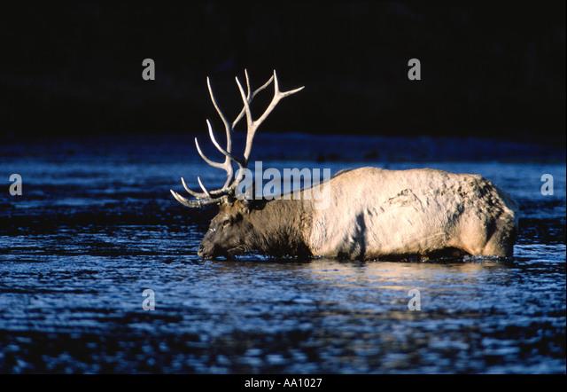A 6x6 bull elk or wapiti crosses Madison River in early sun Yelllowstone NP Wyoming COPYRIGHT DUANE BURLESON - Stock Image