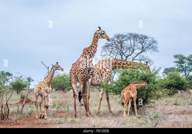Giraffe family Specie Giraffa camelopardalis family of Giraffidae, Kruger national park, South Africa - Stock-Bilder