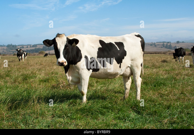 Holstein dairy cows on an organic pasture. This herd on cows produce organic milk / Humboldt County, California, - Stock Image
