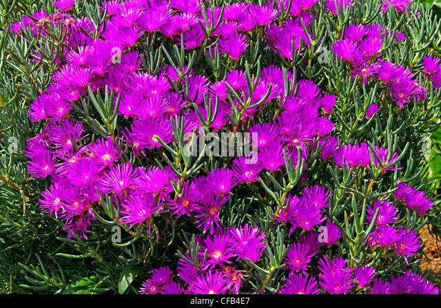 Europe, Portugal, Republica Portuguesa, Madeira, Camacha, Largo Conselheiro Aires de Omelas, midday flowers, plants, - Stock Image