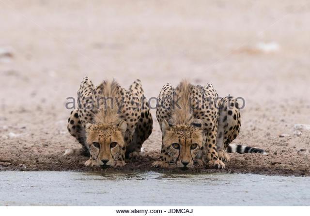 Two cheetahs, Acinonyx jubatus, drinking at a waterhole. - Stock Image