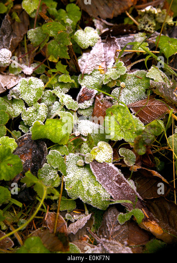 A patch of frost on green and brown leaves on the forest ground. - Stock Image