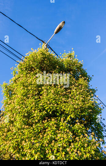 Flowering Common Ivy (Hedera helix) growing up street lamp - France. - Stock Image