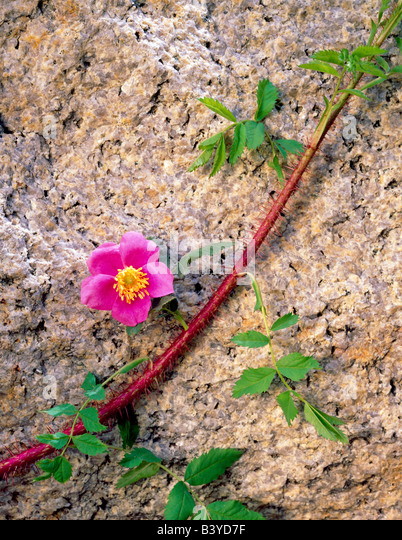 Rose flower and granite Inyo National Forest California - Stock Image