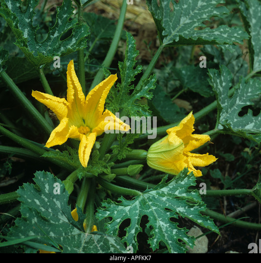 Flowers on a courgette plant Devon - Stock Image