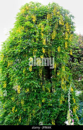 Dangling racemes of yellow flowers of the weeping form of the Scottish laburnum. Laburnum alpinum 'Pendulum' - Stock Image