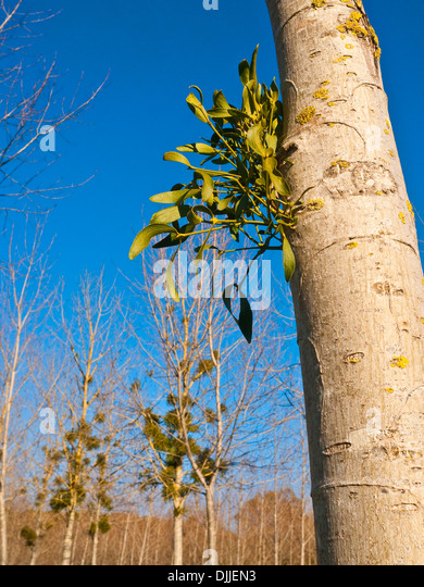 New Mistletoe growth on Poplar tree trunk - France. - Stock Image