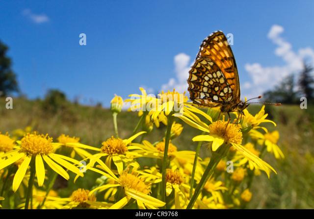 Valerian Fritillary (Melitaea diamina) on ragwort, Bavaria, Germany, Europe - Stock Image
