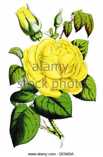 Tea rose isabella gray - Stock-Bilder