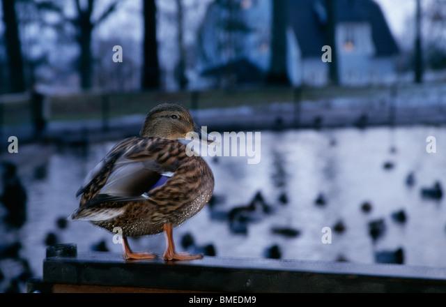 Mallard duck at dusk - Stock Image