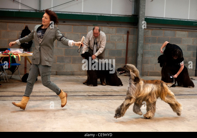 Afghan hound running in show ring. - Stock Image