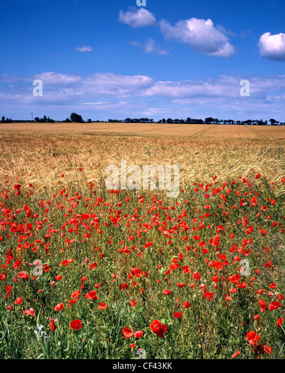 Wild poppies bordering a field of barley. - Stock-Bilder