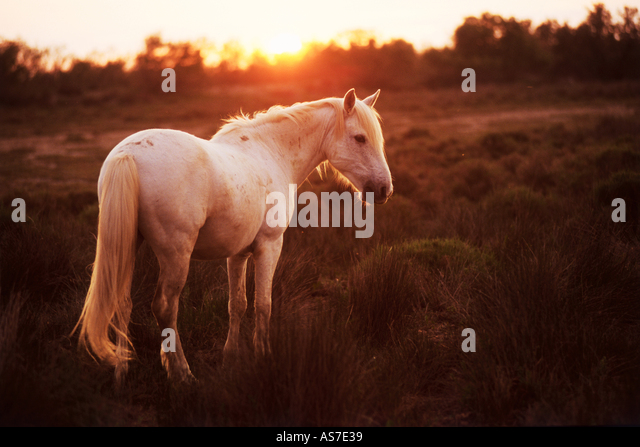 Camargue horse - standing in sunset light - Stock Image