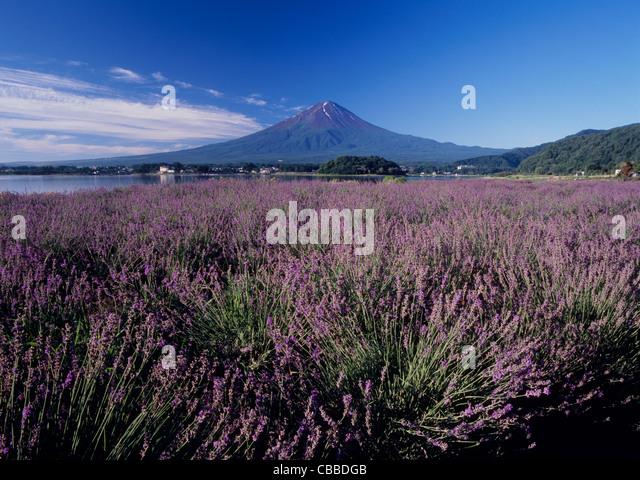 Mount Fuji and Field of Lavender, Fujikawaguchiko, Yamanashi, Japan - Stock Image