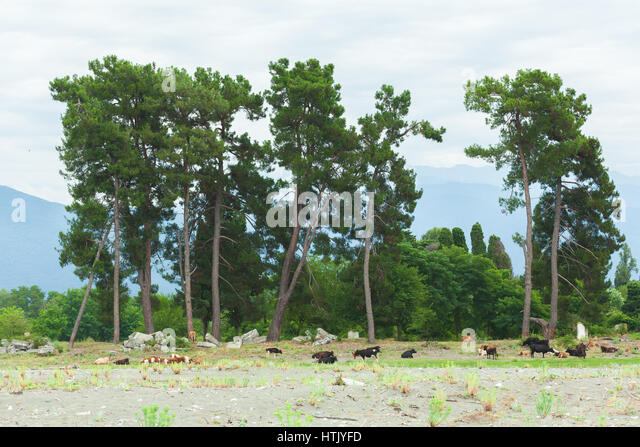 A herd of cows on the background of the Pitsunda pine trees and mountains of Abkhazia - Stock Image