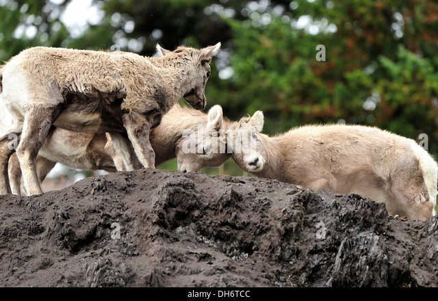 Bighorn sheep kids butting heads - Stock Image