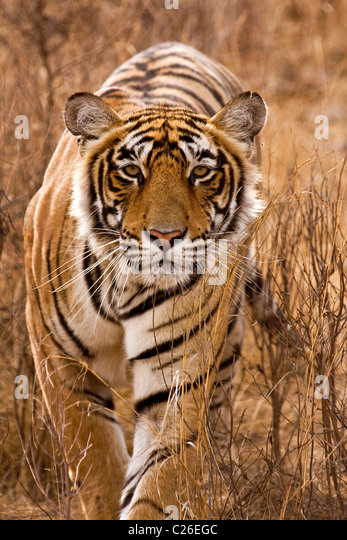 Alert tiger stalking head on in the dry grasses of the dry deciduous forest of Ranthambore tiger reserve - Stock Image
