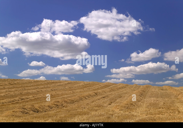 Golden field of cut hay against a beautiful blue cloudy sky - Stock Image