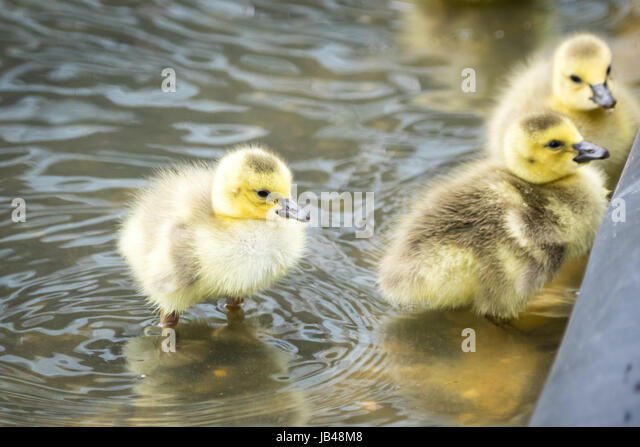 Newborn, day-old, Canada goose goslings wading in shallow water at Century Park in Edmonton, Alberta, Canada. - Stock Image