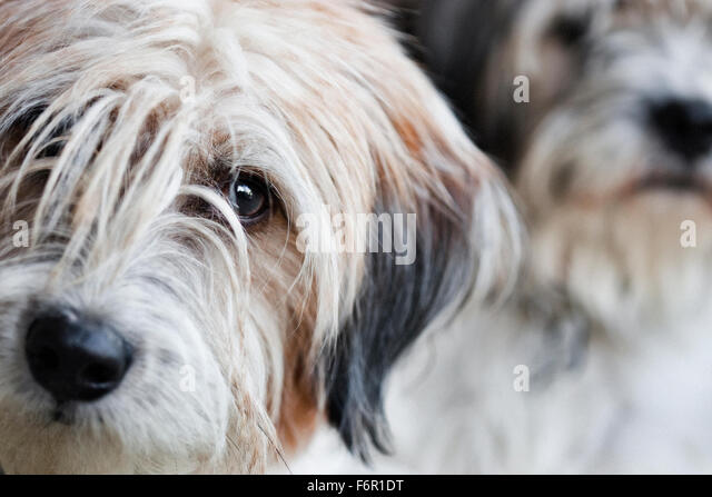 Two shaggy light colored terrier mix dogs, one looking soulful in foreground one stoic in background - Stock Image