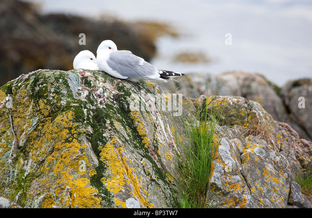 Kittiwakes at the island Runde on the west coast of Norway. - Stock Image