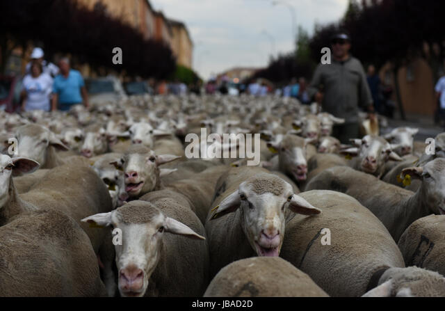 Soria, Spain. 09th June, 2017. Sheep are mustered along the streets of Soria city center during the annual livestock - Stock-Bilder