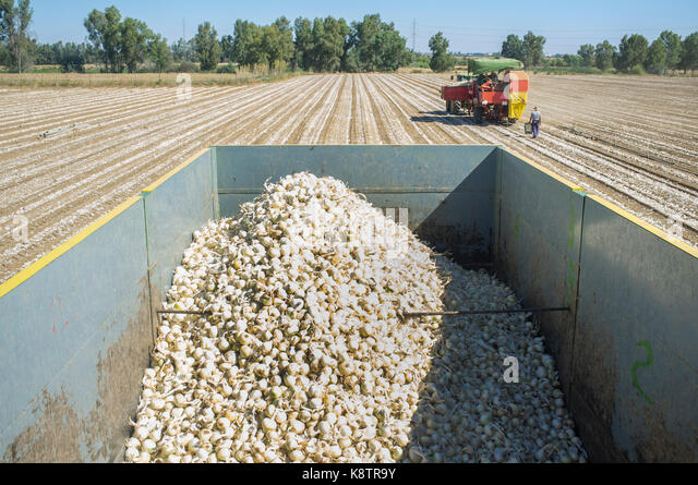 Tractor pulling an onion harvester. View from trailer. Badajoz, Spain - Stock Image
