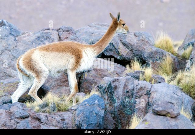 Chile Atacama Desert Vicuna - Stock Image