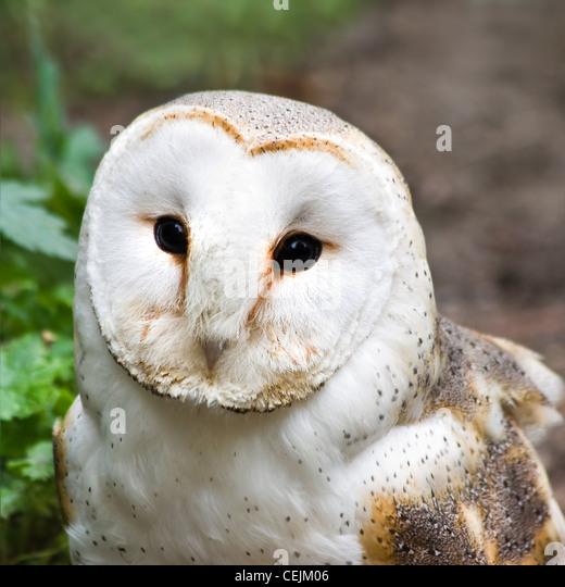 church owl stock photos church owl stock images alamy