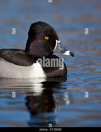 Ring-necked duck (Aythya collaris) swimming, Clark County, Nevada, United States of America, North America - Stock Image