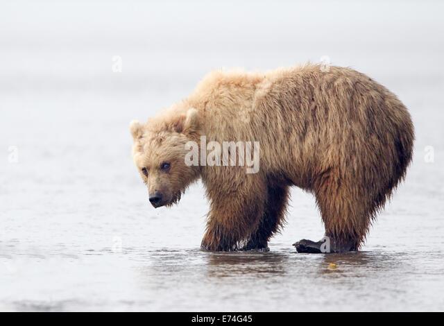Alaskan Brown Bear Digging for Razor Clams - Stock Image