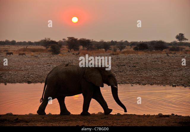 Elephant at waterhole at sunset, Okaukuejo, Etosha National Park, Namibia, Africa - Stock-Bilder