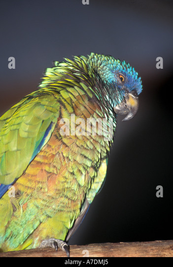 St Lucia rare parrot bird called jacquot - Stock Image