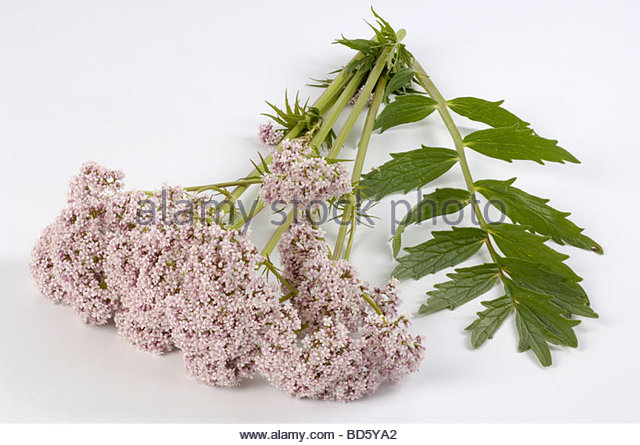 Valerian flowers with leaf - Stock Image