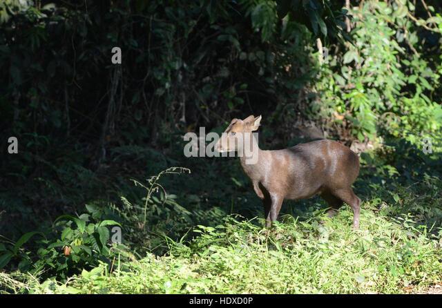 An Indian Hog Deer in Kaziranga national park in Assam, India. - Stock Image