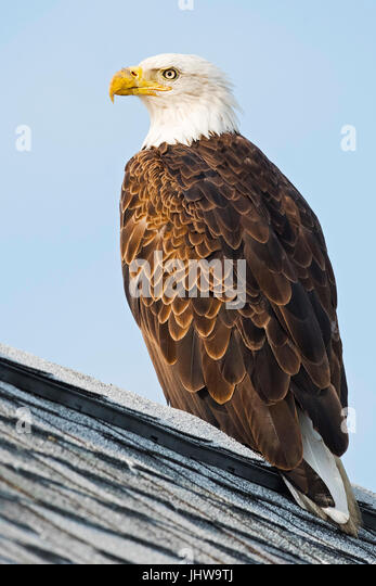 Bald Eagle on Roof - Stock Image
