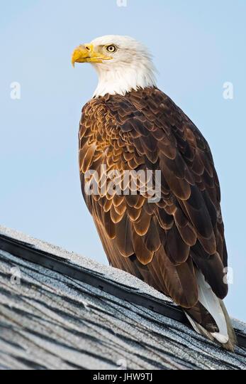 Bald Eagle on Roof - Stock Image