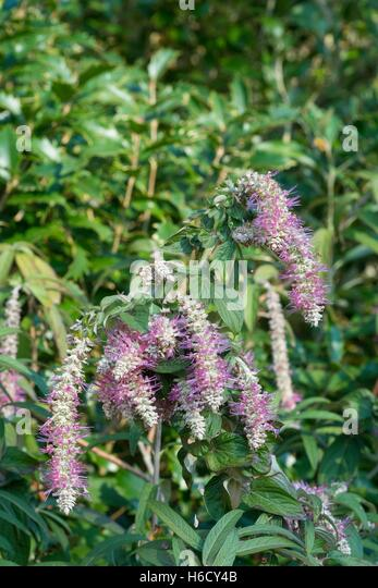 Rostrinucula dependens, weeping rostrinucula, weeping buddleia, - Stock Image