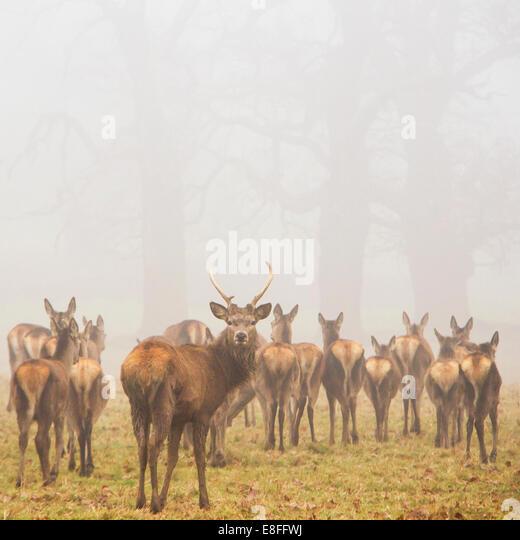 Deer looking at camera - Stock Image
