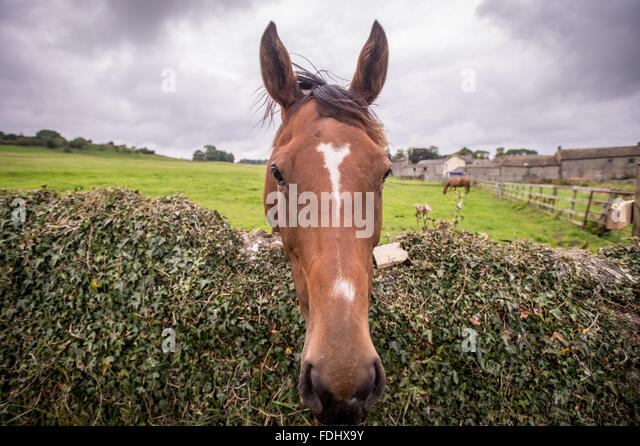 Horse at Middleham Castle in Wensleydale in Yorkshire, England, UK - Stock Image
