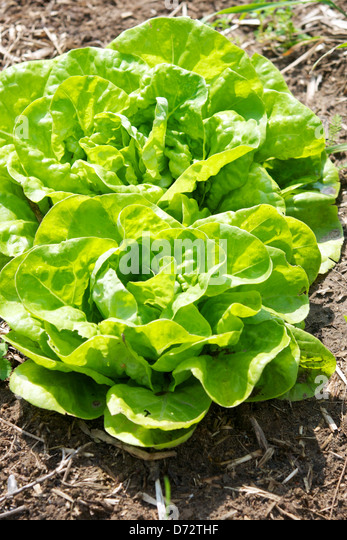 Two Butter lettuces in a farmers garden. - Stock Image