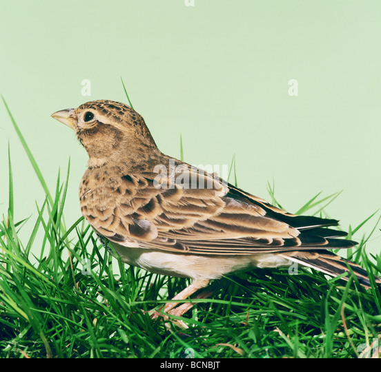 Skylark - standing in the grass / Alauda arvensis - Stock Image