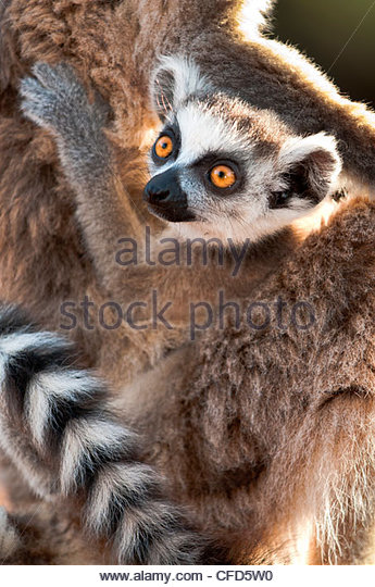 Infant Ring-tailed Lemur (6-8 weeks) clinging to mother. Berenty Private Reserve, southern Madagascar - Stock-Bilder